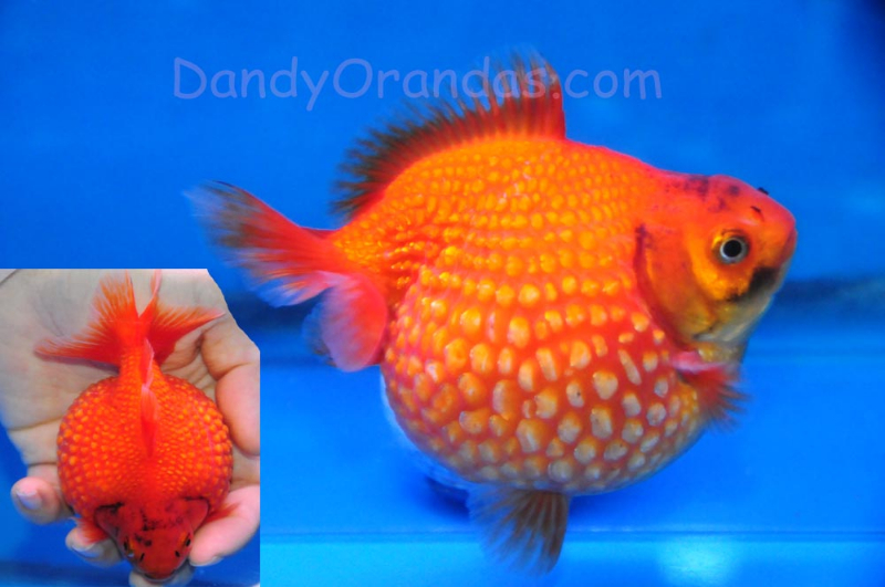 Collector and show quality goldfish for Gold fish for sale