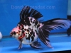tri-color long-tail ryukin