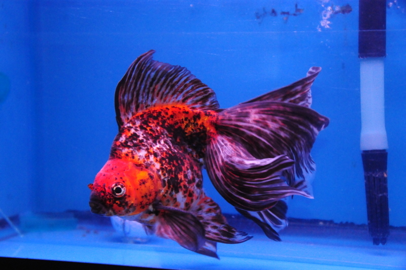 Calico long tail ryukin for Exotic koi fish