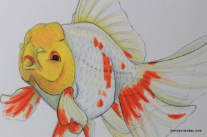 Uploaded image oranda closeup.JPG