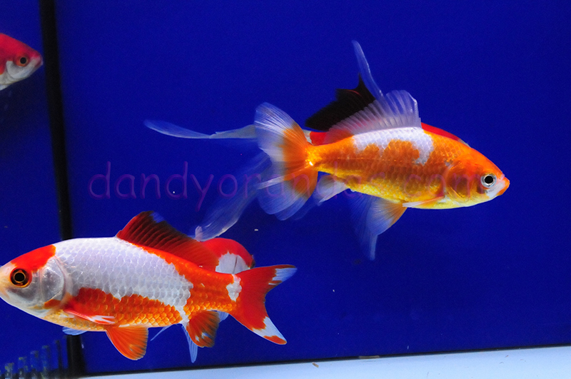 4 pak pond fish collection hibuna comet jikin wakin for Comet pond fish