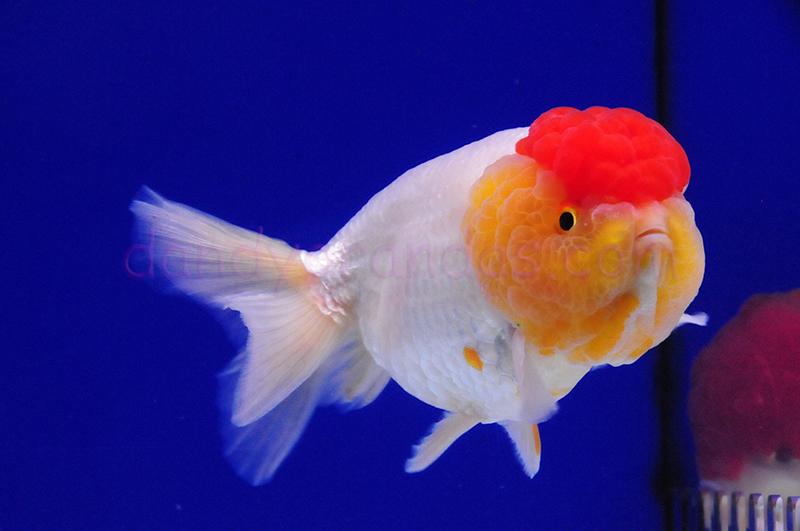 DandyOrandas com » Collector and Show Quality Goldfish